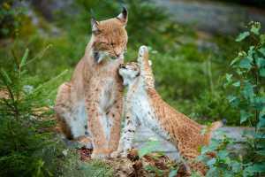 Luchsfamilie