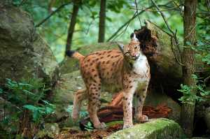 Markierender Luchs (Lynx lynx)