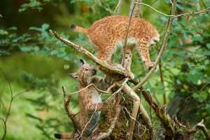 Jungluchse (Lynx lynx)
