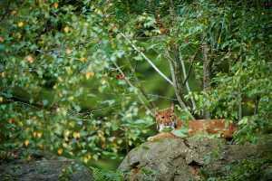 Luchs (Lynx lynx) auf Fels