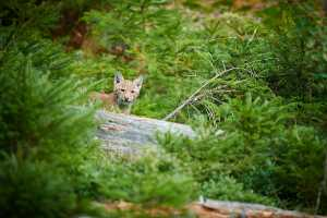 Jungluchs (Lynx lynx)