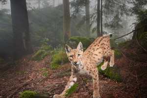 Luchs (Lynx lynx) im Nebelwald