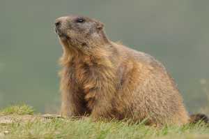 Adultes Alpenmurmeltier (Marmota marmota)