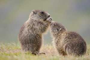 Junge Murmeltiere