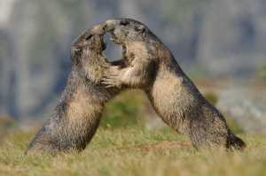 Kämpfende Alpenmurmeltiere (Marmota marmota)