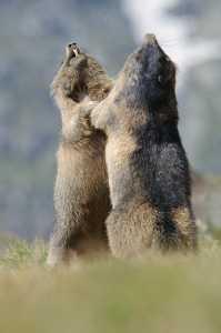 Kämpfende Murmeltiere (Marmota marmota)