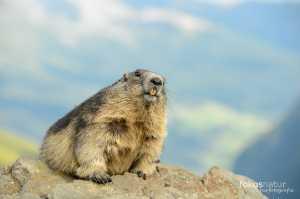 Murmeltier (Marmota marmota)