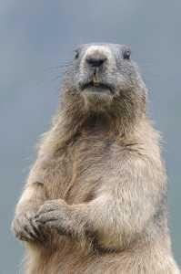 Wachsames Murmeltier (Marmota marmota)