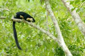 Schwarzes Riesenhörnchen (Ratufa bicolor)