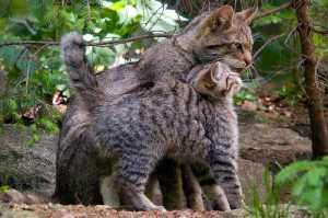 Wildkatze (Felis silvestris)