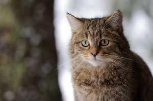 Wildkatze im Winterfell