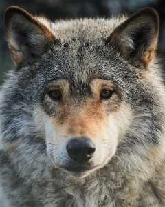 Europäischer Wolf (Canis lupus europaeus) - C