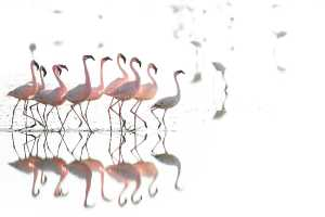 Zwergflamingos am Lake Natron