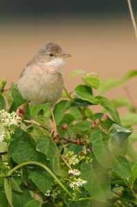 Männliche Dorngrasmücke (Sylvia communis)