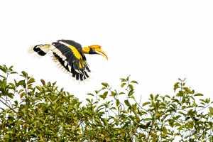Doppelhornvogel (Buceros bicornis)