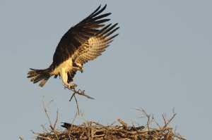 Fischadler (Pandion haliaetus) im Anflug auf sein Nest