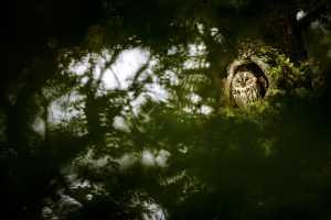 Waldkauz (Strix aluco)