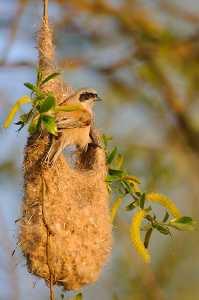 Beutelmeise (Remiz pendulinus) beim Nestbau