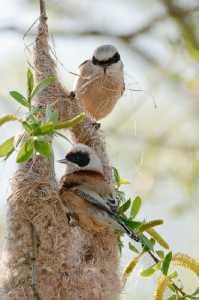 Beutelmeisepärchen (Remiz pendulinus)