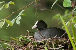 Blässhuhn (Fulica atra) auf dem Nest