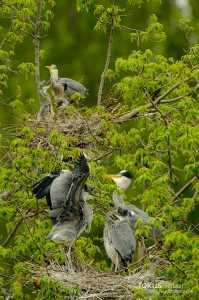Graureiher (Ardea cinerea) in der Kolonie