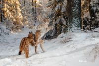 The European Lynx in Bavaria
